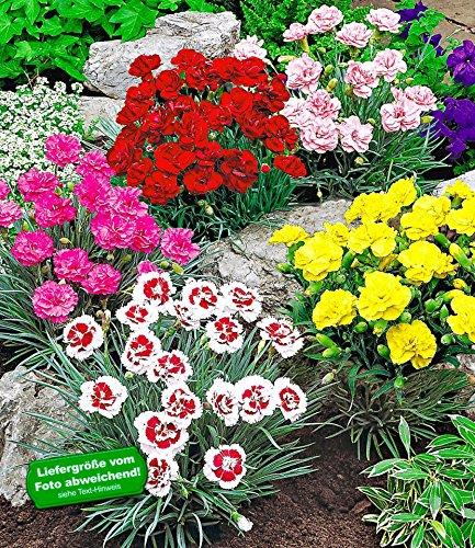 BALDUR-Garten Prachtmischung 'Duft-Gartennelken', 5 Pflanzen Dianthus