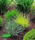 BALDUR-Garten Gräser-Trio 3 Pflanzen Ziergräser Festuca glauca Elijah Blue, Festuca gautieri, Milium effusum Aureum winterhart