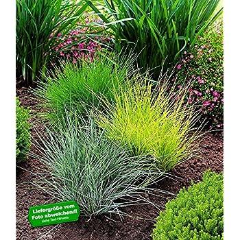Gräser Im Garten baldur garten gräser trio 3 pflanzen ziergräser festuca glauca