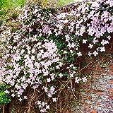 Clematis MontanaTetrarose - 1 pflanze