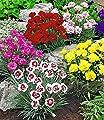 BALDUR-Garten Prachtmischung 'Duft-Gartennelken', 5 Pflanzen Dianthus von Baldur-Garten auf Du und dein Garten