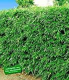 BALDUR-Garten Winterharte Bambus-Hecke, 5 Pflanzen, Fargesia murielae Simba