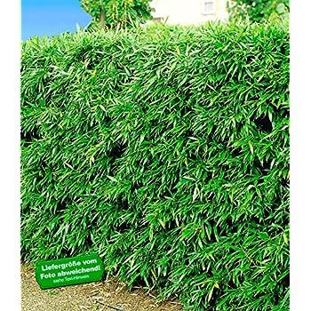 baldur garten winterharte bambus hecke 10 pflanzen. Black Bedroom Furniture Sets. Home Design Ideas