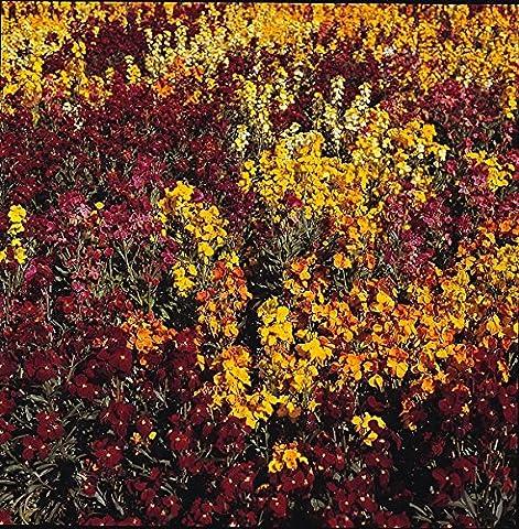 Kings Seeds - Wallflower, Persian Carpet Mixed