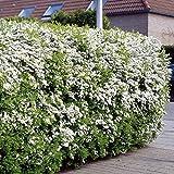 Spierstrauch Arguta Heckenpflanze - 5 heckenpflanzen