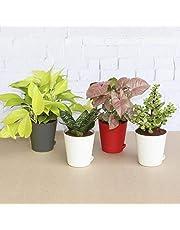Ugaoo Indoor Plants - Money Plant Golden, Jade Mini, Sanseveria Green & Syngonium Pink
