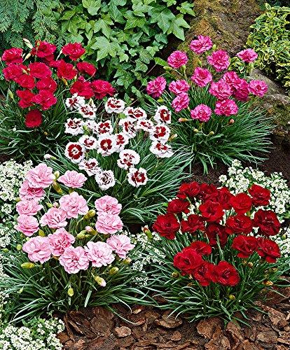 Keland Garten - 200pcs Raritäten Federnelke 'Alice' Grasnelke Bonsai Blumensamen Mischung winterhart mehrjährig geeignet für Topf Blumenkasten
