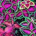 Buntnessel Rainbow Samen - Buntnessel Pestwurz von Rekwiat bei Du und dein Garten