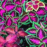 Semi di Coleus Rainbow - Coleus hybridus - 15 semi