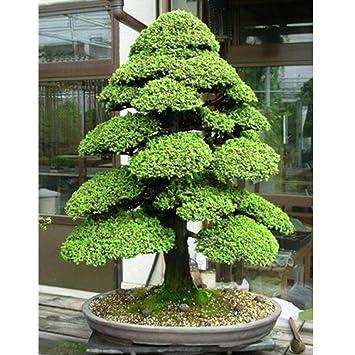 Bonsai baum garten  ESHOO Zedern Samen Cedrus Baum Samen Bonsai DIY Haus Garten ...