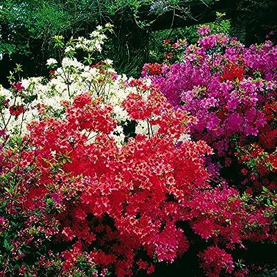 Azaleen Kollektion Rosa/Rot/Weiß von Meingartenshop auf Du und dein Garten
