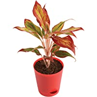 Ugaoo Aglaonema Red Natural Live Plant Indoor with Self Watering Pot