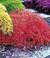 """BALDUR-Garten Japanischer Ahorn """"Orange Dream"""" 1 Pflanze Acer winterhart von Baldur-Garten bei Du und dein Garten"""