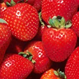 Strawberry 'Marshmello' Fast Growing Bare Root Garden Bush Fruit Plants (5 Plants)