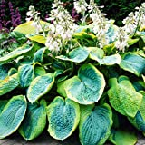 Hosta Planta decorativa perenne Planta natural Plantas bulbos 1x Rizoma Hosta gigante Frances Williams