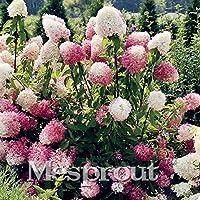 20 semi di vaniglia Fragola ortensia fiori per piantare in vaso o terreno facile da (Ortensia Albero)