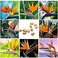 10Pcs Rare Strelitzia Reginae Graines De Fleurs Oiseau De Paradis Décoration De Plantes Tropicales
