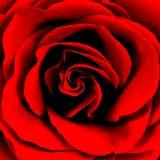 Éditeur de collage de photos de roses