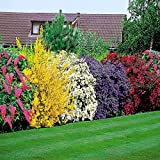 Pack of 6 Mixed Hedges & Shrubs Grown by Lancashire Plants (Garden Ready) (Pack of 6 Mixed Shrubs for £11.94 (£1.99 each), 9cm Potted Shrubs)
