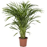 Botanicly - Large Indoor Plants – Areca/Dypsis Palm Tree (Golden Cane Palm) - 90 cm Tall House Plant