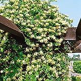 Dominik Blumen und Pflanzen, Kletterpflanzen, Duft-Je-Länger-Je-Lieber, Lonicera japonica Halliana, 2 L, 1 Stück, gelb, 40x10x10 cm, 338005