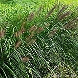 lichtnelke - Federborstengras (Pennisetum alopecuroides var. viridescens)
