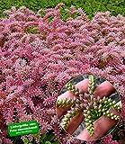 BALDUR-Garten Seestern-Blume, 3 Pflanzen Sedum pulchellum