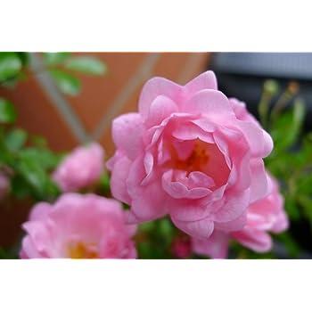 Bodendecker Winterhart Mehrjahrig Bodendecker Rosen Rosa The Fairy
