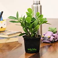 Leafy Tales ZZ Plant (Zamioculcas Zamifolia) in Black Plastic I Plants for Home I Gives Oxygen at Night I Low Maintenance Plant