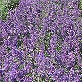 Foerster-Staude Katzenminze Six Hills Giant im 4er-Set lila blühend Staude Sonne Nepeta x faassenii im 0,5 Liter Topf 4 Pflanzen