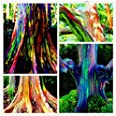 semillas 105pcs / bag raras Rainbow Eucalyptus deglupta, semillas de árboles tropicales llamativas, eucaliptos para la planta