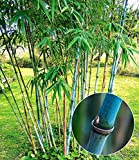 BALDUR-Garten Winterharter Bambus