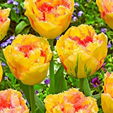 GOMUKHIMARKET 3Pcs Yellow and Red Heart Tulip Bulbs Steellwingsf 3Pcs Variety Tulip Bulbs S