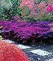 """BALDUR-Garten Japanischer Ahorn """"Seiryu"""" 1 Pflanze Acer winterhart von Baldur-Garten bei Du und dein Garten"""