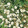 Amazon.de Pflanzenservice Pflanzen Fünffingerstrauch Abbotswood blühend, 3 Sträucher, weiß von Amazon.de Pflanzenservice - Du und dein Garten