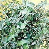 Mostgummi-Eukalyptus - 1 strauch