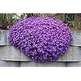 RWS Blaukissen Violet 120 semillas, Aubrieta Violet
