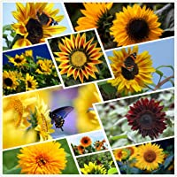 Semi di girasole per piantare - Bellezza autunnale - Miscela per esterni Bulk 20+ Varietà Confezione sfusa di 1.100…