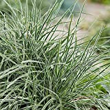Carex oshimensis 'Everest' - Laiche panachée blanc