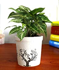 Rolling Nature Good Luck Air Purifying Live Green Syngonium Plant in White Jar Aroez Ceramic Pot