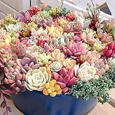 Keland Garten - Sukkulenten Samen Mischung winterhart Blumensamen, geeignet auch für alte Schuhen oder Dachziegeln