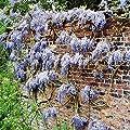 Glyzinie blau - 1 strauch von Meingartenshop bei Du und dein Garten