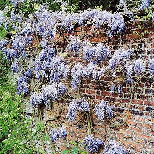 wisteria-sinensis-blue-rain-2-shrubs