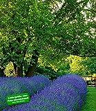 BALDUR-Garten Lavendel 'Phenomenal' Duftlavendel echter Lavendel, 2 Pflanzen Lavandula