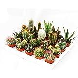 Exotenherz - Mini-Kakteen und Sukkulenten - Set mit 20 Pflanzen