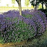 Lavande Hidcote 7cm pot - 20 plantes
