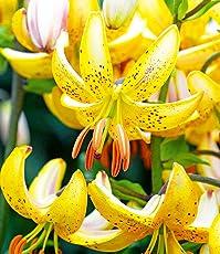 """BALDUR-Garten Lilie Martagon Hybride""""Guinea White"""", 3 Zwiebeln Lilium duftend Blumenzwiebeln winterhart"""