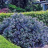 Blühende Hecke - 4 heckenpflanzen