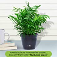 Nurturing Green Chamaedorea Palm Plant in Hermes Pot for home (Live Indoor Parlour Plant with pot for livingroom, bedroom, of