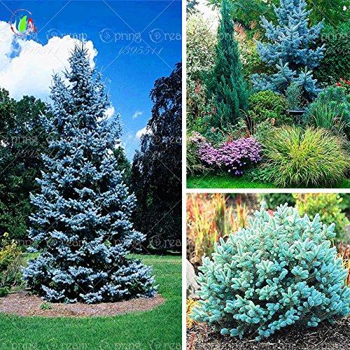 20 graines / sac jardin usine ciel épinette bleue du Colorado Picea glauca Pungens arbre Graines SEMENTES graines vivaces